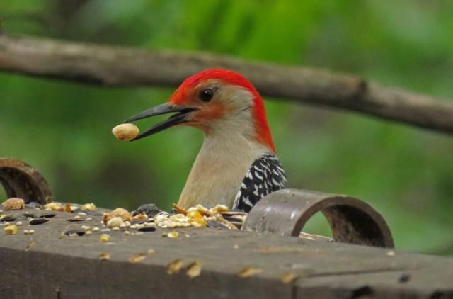 red-breastedwoodpecker