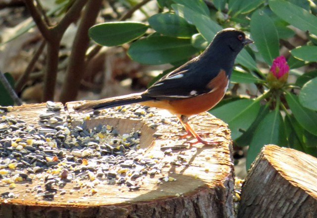 Eastern Towhee enjoying breakfast at the stump