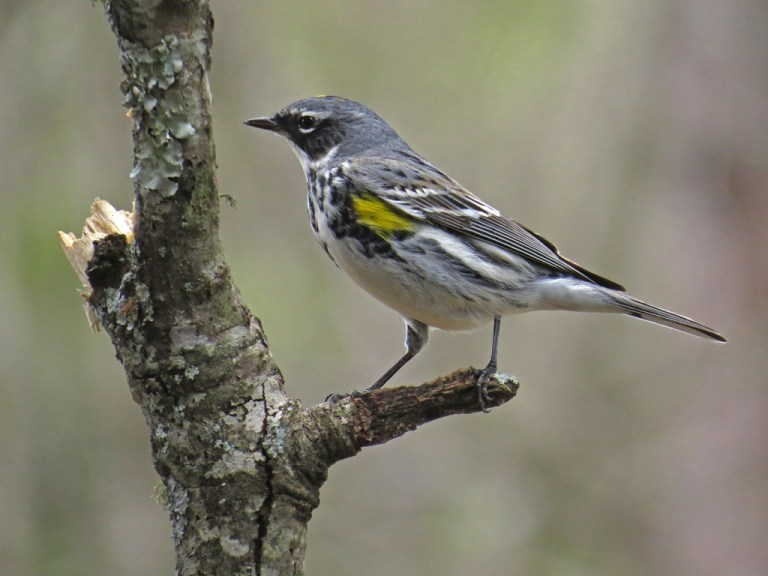 Yellow-rumped Warbler on one of the perches - the part you do see in pictures!
