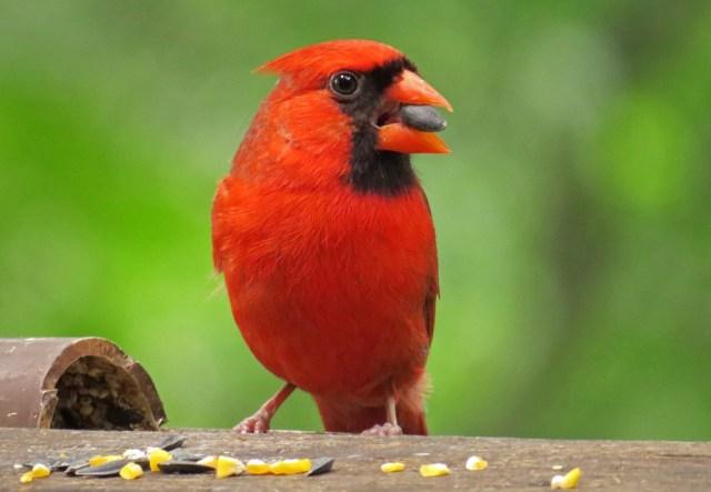 cardinal601