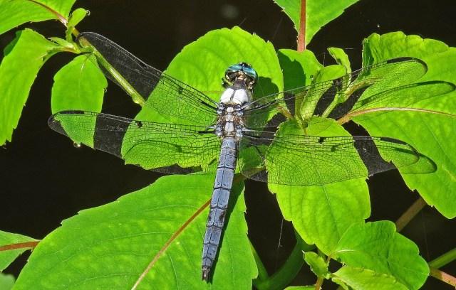 dragonflyd