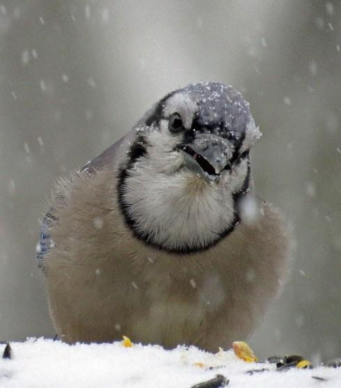 Snowmageddon Blue Jay