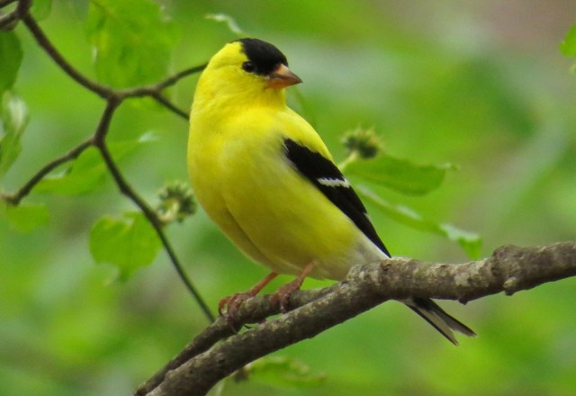 goldfinch703a