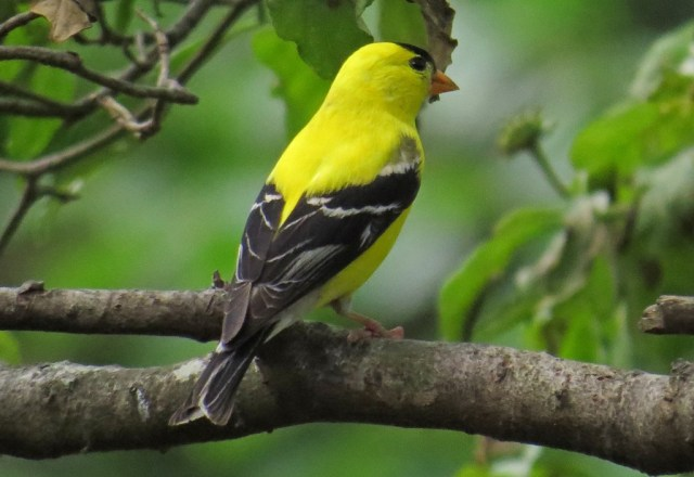 goldfinch703b