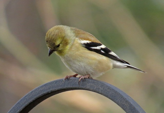 goldfinch703d