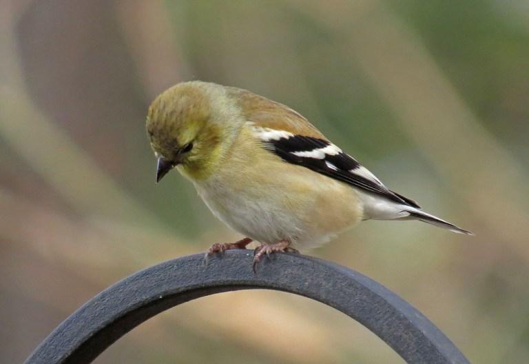 goldfinch703d