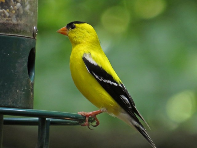 goldfinch703e