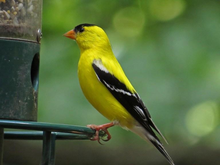 goldfinch703e