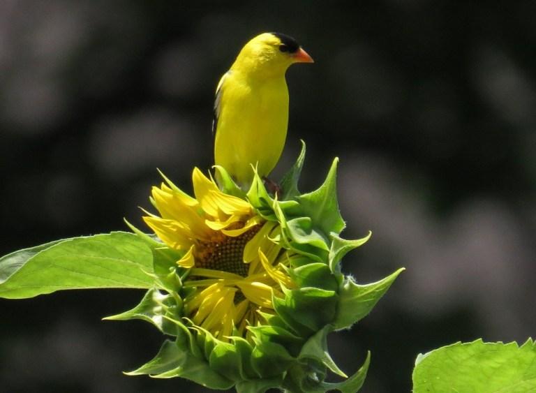 goldfinch703f