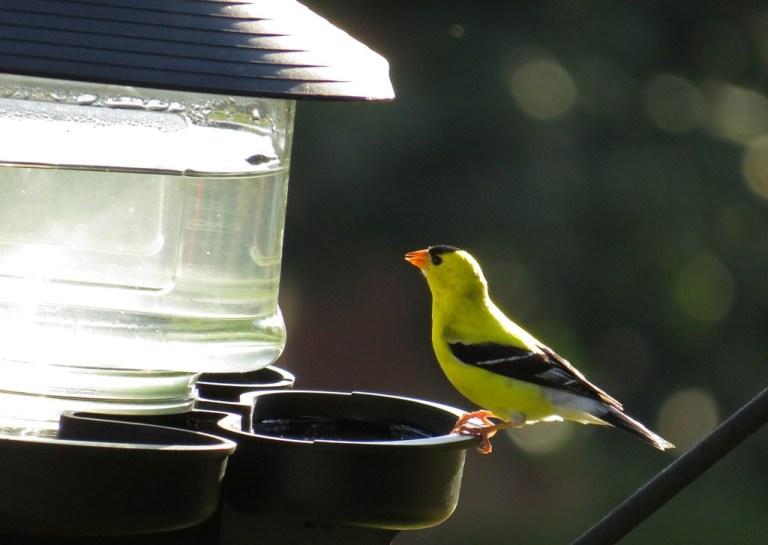 goldfinch703g