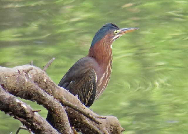 Green Heron at dusk
