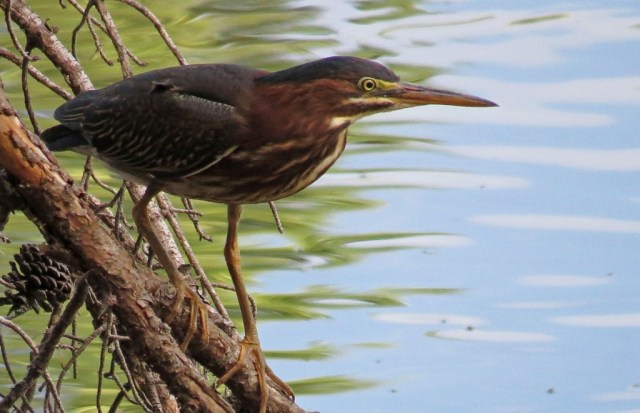 greenheron711b