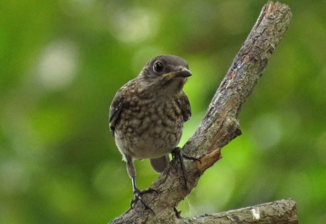 Baby Eastern Bluebird.