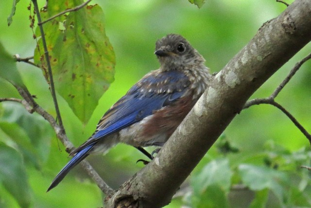 A second brood of bluebirds has arrived.  Love these little guys!