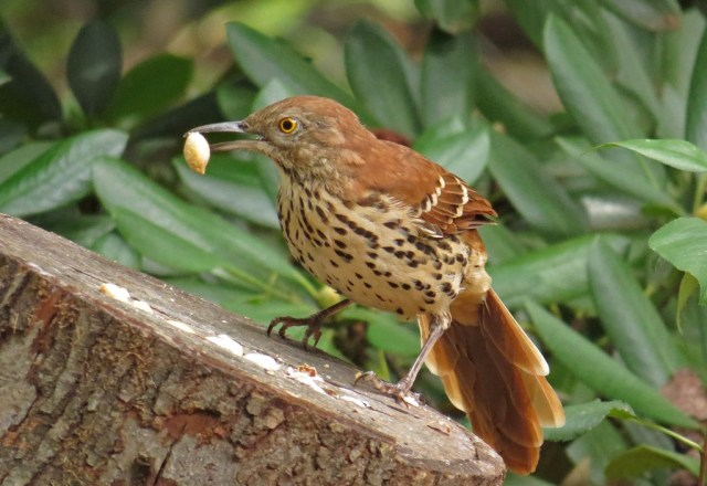 Brown Thrasher scavanging a peanut.