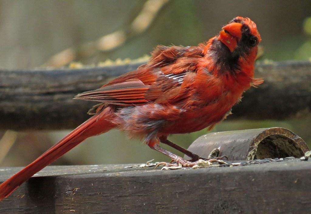 cardinal-1.jpg
