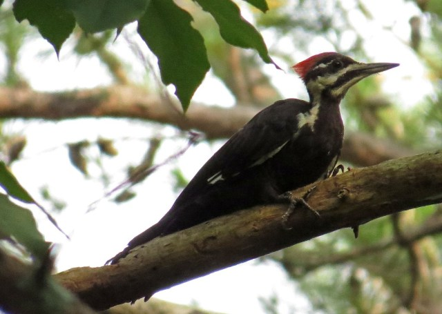 pileated 3
