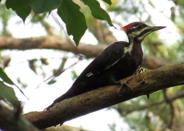 Pileated Woodpeckers | Backyard Bird Nerd