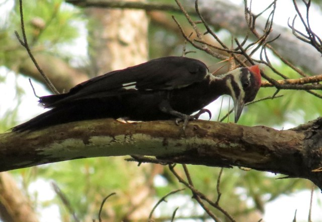 pileated2