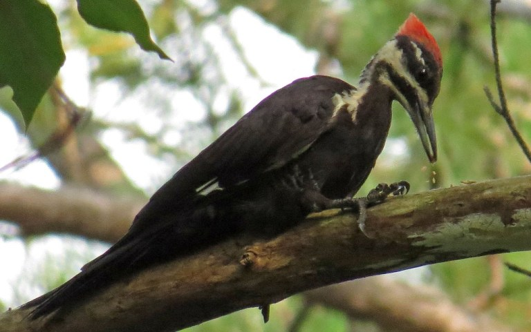 pileated4