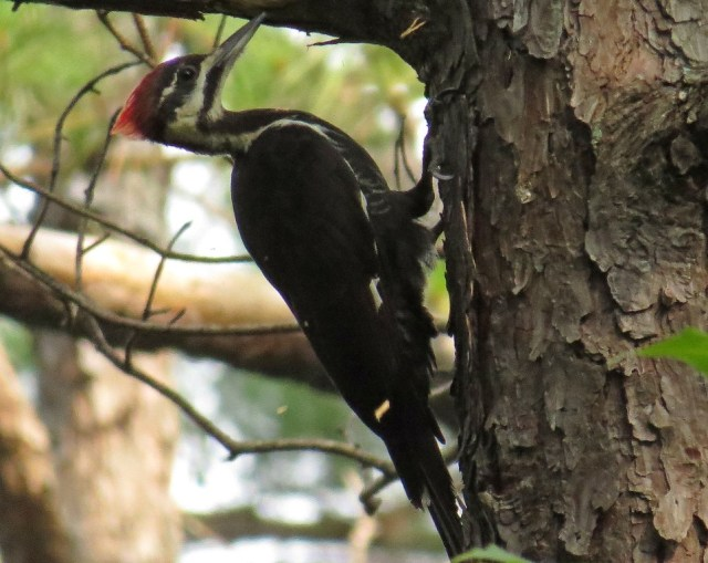 pileated5