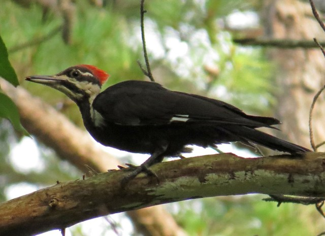 pileated6