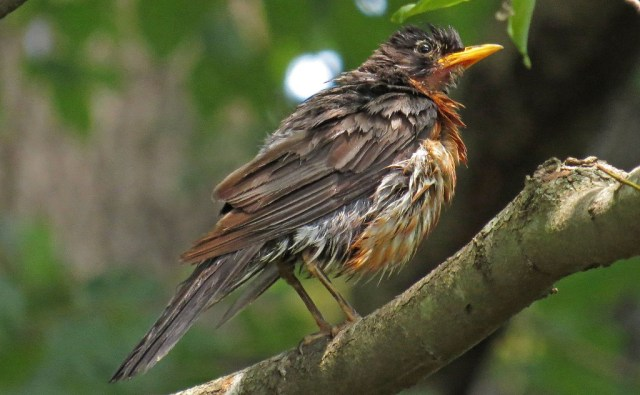 American Robin sunning himself after a thorough soaking.
