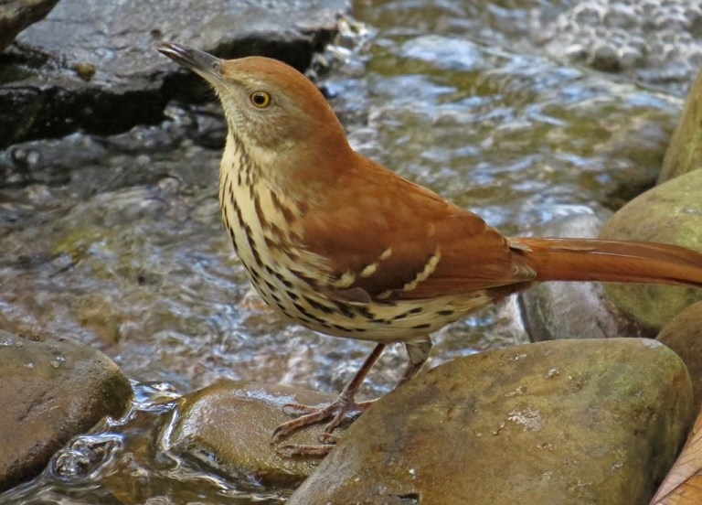 brownthrasher