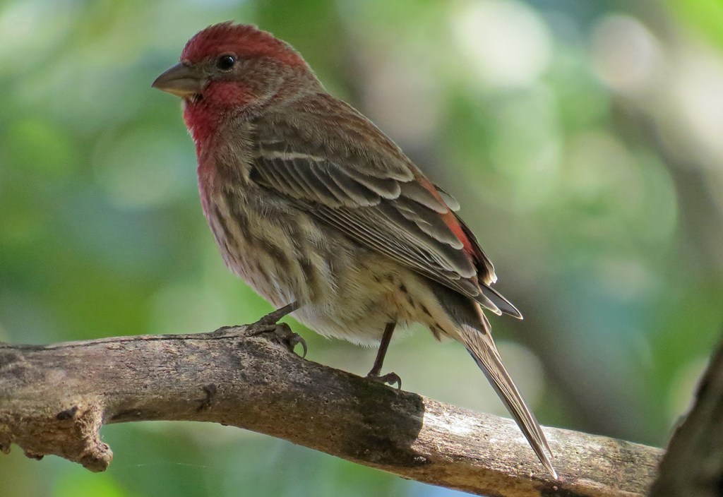 handsome house finch backyard bird nerd