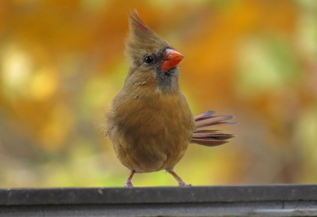 This female cardinal gripped the edge of the water dish as she was blown by a wind gust.