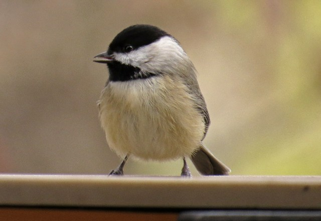 Carolina Chickadee.