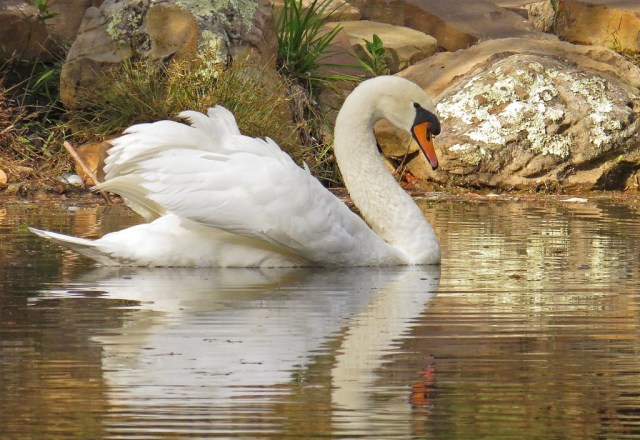 Here is one of the swans that glides about majestically on the lake.