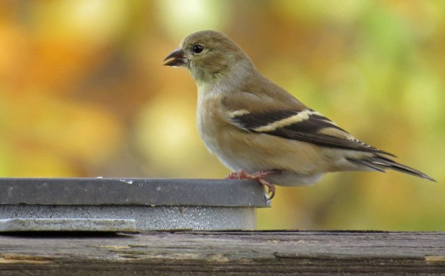 American Goldfinch at the heated water dish.