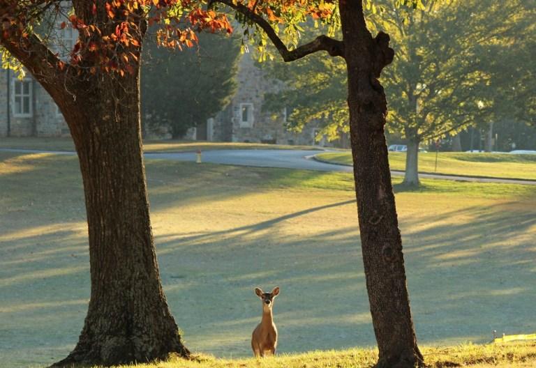 morning deer 2