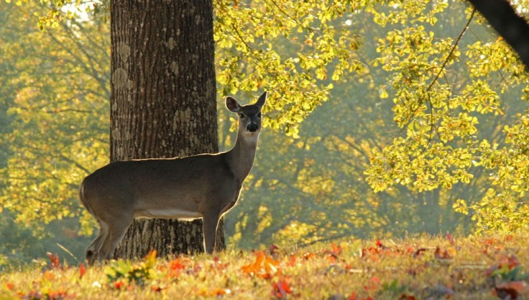 I got up early Sunday morning and saw this deer meandering about.  I think the campus has more deer tham students.