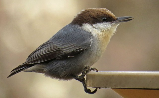 Brown-headed Nuthatch.  If I didn't get outside fast enough, he would start chiselling at the ice with his beak.
