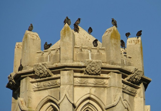 More Starlings standing guard at the castle.