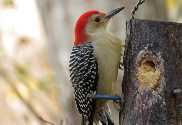 Male Red-bellied Woodpecker enjoying some Bark Butter.