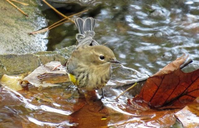 warbler2