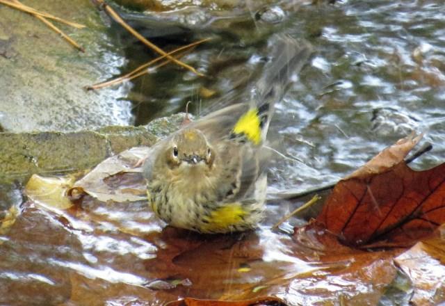 warbler4