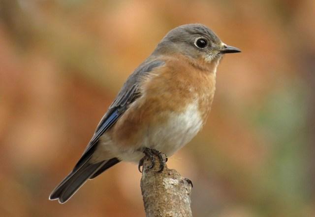 bluebird7