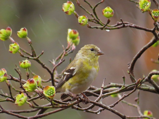April - American Goldfinch