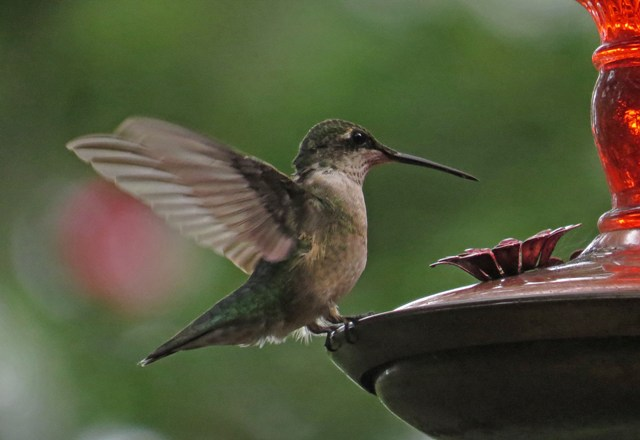 August - Ruby-throated Hummingbird