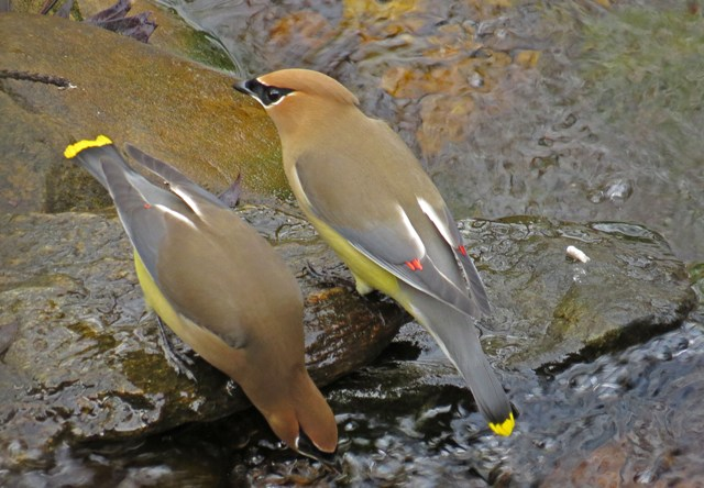 December - Cedar Waxwings