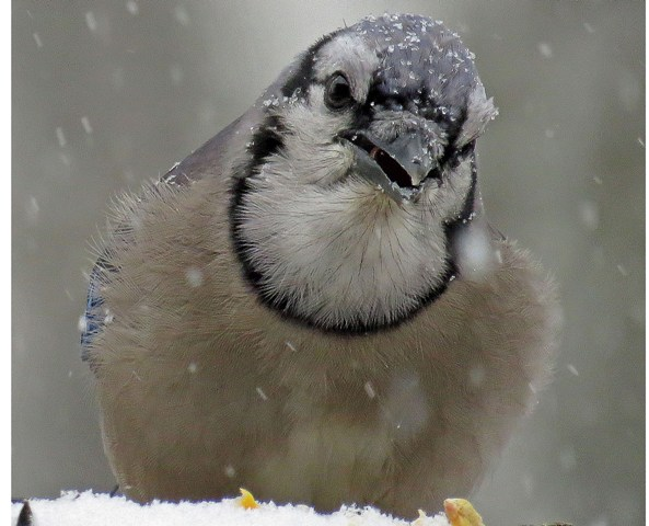 January - Blue Jay