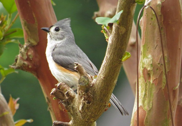 July - Tufted Titmouse