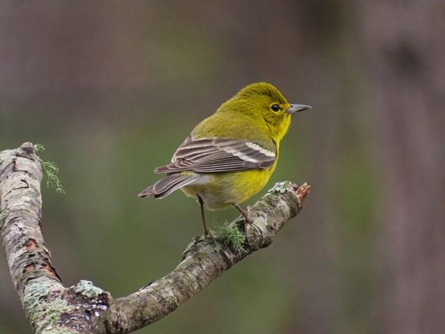 June - Pine Warbler