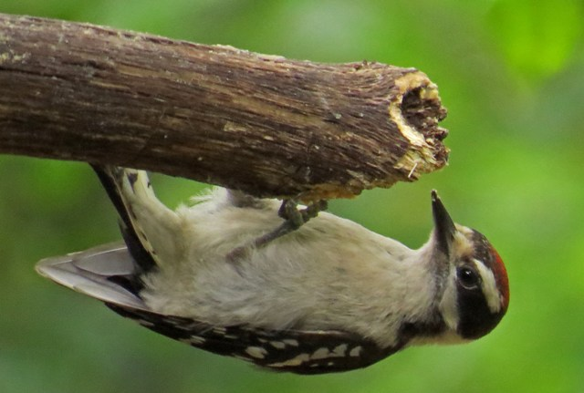 March - Downy Woodpecker