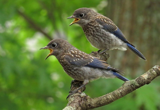 May - Eastern Bluebird babies