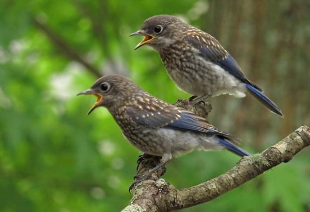May - Eastern Bluebird babies
